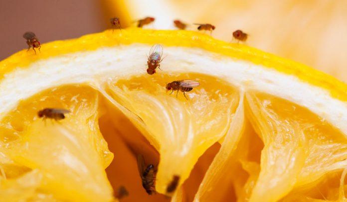 Fruchtfliegen loswerden